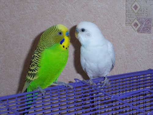 как познакомить попугая с самцом